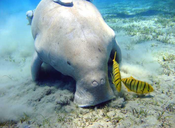 Marsa Alam: Snorkeling Trip with Dugong and Turtles