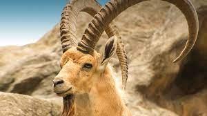 Nubian Ibex Sharm El-Sheikh
